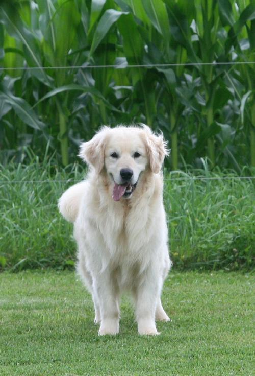Golden Retriever Puppies In Wisconsin